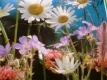 Wiesenblumenmischung Vreneli Samen