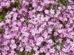 Rosablühendes Teppichschleierkraut Samen