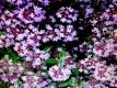 Sandthymian Thymus serphyllum Samen