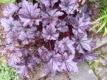 Purpurglöckchen Palace Purple Pflanze
