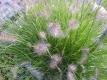 Lampenputzergras  Pennisetum alepecuorides Samen