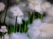 Schmalblättriges Wollgras Eriophorum angustifolium Samen