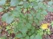 Hainbuche Carpinus betulus wurzelnackt ca.100 cm