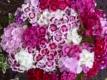 Bartnelke Dianthus barbatus Samen