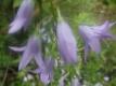 Echte Rapunzelglockenblume Samen