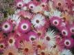 Mittagsblume Zauberteppich Samen