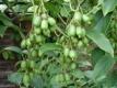 Kiwai Issai Pflanze