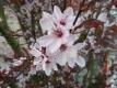 Blutpflaume Nigra Pflanze