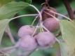 Kiwi Kens Red Pflanze