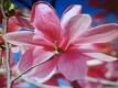 Magnolia Galaxy großblumig Pflanze