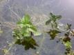 Wasserminze Mentha aquatica Pflanze