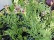 Leinkraut Linaria aeruginea Neon Lights Samen
