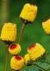 Jambú Husarenkopf Samen