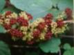 Amerikanische Narde  Aralia racemosa Samen