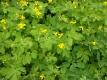 Schöllkraut Chelidonium majus Pflanze