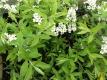 Spierstrauch Grefsheim Pflanze
