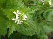 Knoblauchrauke Alliaria petiolata Samen