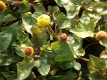 Parakresse Acmella oleracea Pflanze