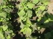 Weichhaarige Siegesbeckie Xi Xian Cao Pflanze