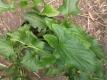 Guter Heinrich Chenopodium bonus henricus Pflanze