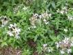 Echtes Seifenkraut Saponaria officinalis Pflanze