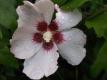 Garteneibisch Hibiscus syriacus Mathilde Pflanze