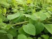 Glockenwinde Codonopsis pilosula Pflanze