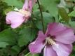 Garteneibisch Hibiscus syriacus Pink Giant Pflanze