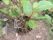 Chinesisches Spaltkölbchen Wu Wei Zi Pflanze