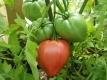 Tomate Kroatisches Ochsenherz Samen
