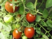Tomate Koritschnevaja Sliva Samen