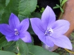 Blaue Ballonblume Platycodon grandiflorus Pflanze