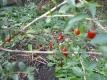Gojibeere Lycium barbarum Pflanze
