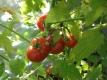 Tomate Opas Liebling Samen