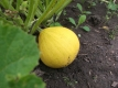 Zitronen-Zucchini Samen