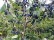 Schlehe Prunus spinosa Pflanze