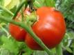 Tomate Saint Pierre Samen
