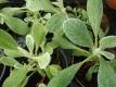 Griechischer Bergtee Sideritis syriaca Pflanze