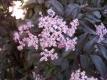Rotlaubiger Holunder Black Beauty(R)Pflanze