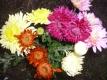 Gartenchrysantheme in 5 Farben großblumig ab 40 cm 10 Stck