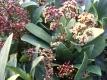 Japanische Blütenskimmie Skimmia japonica Rubella Pflanze