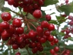 Roter Holunder Sambucus racemosa Samen