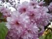 Japanische Nelkenkirsche Pink Perfektion Pflanze