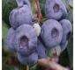HEIDELBEERE Sierra (Vaccinum corymbosum)Pflanze