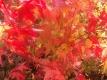 Fächerahorn Murasaki kiyohime Pflanze