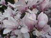 Tulpenmagnolie Alba Superba Magnolia soulangiana
