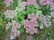 Fetthenne hoch Sedum telephium Pflanze