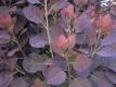 Roter Perückenstrauch Pflanze