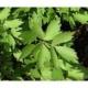 Liebstöckel Maggikraut Pflanze