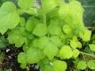 Japanische Weinbeere Pflanze